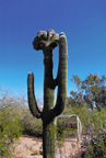 Spring Training - Crested Saguaro at the Desert Botanical Garden