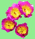 2022 Cactus League Schedule - Fishhook Hedgehog Cactus Blossoms