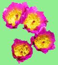 2021 Cactus League Schedule - Fishhook Hedgehog Cactus Blossoms