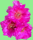 Photos From Fans - Prickly Pear Blossoms