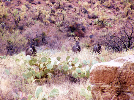 Wild Burros in The Grand Canyon
